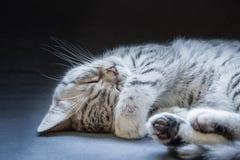 Black silver tabby kitten lying lazy Royalty Free Stock Photos