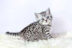 Black silver tabby kitten sits on sheepskin Stock Photos