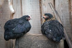 Black and similar chickens standing on a wooden box. Two similar black color hens sitting on the old wooden box royalty free stock photography