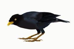 Black singing minah  bird. Black singing minah on white background Royalty Free Stock Photos