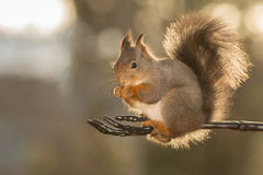 Black skeleton arm. Close up of a red squirrel on a black skeleton arm royalty free stock image