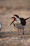 Black Skimmer Royalty Free Stock Photos