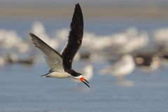 Black Skimmer Stock Photography