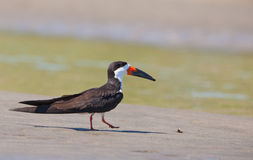 The Black Skimmer Royalty Free Stock Images