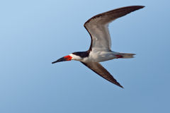 Black Skimmer Stock Images