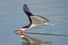 Black Skimmer Stock Photos