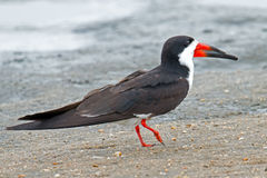 Black Skimmer on Beach Stock Image