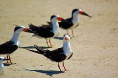 Black Skimmer bill Royalty Free Stock Photos