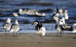 Black Skimmer bird on beach, Hilton Head Island. Black Skimmer bird, Rynchops niger, on beach surf. Hilton Head Island, South Carolina, USA. Fish Haul Park and Stock Image