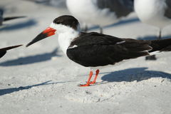 Black Skimmer Bird on Beach Stock Photography
