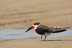 Black Skimmer Bird Royalty Free Stock Photography