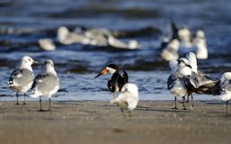 Free Black Skimmer Bird On Beach, Hilton Head Island Stock Image - 106468841