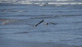 Black skimmer birds feeding. Two black skimmer birds (Rynchops niger) feeding near the beach. Galveston, Texas Stock Photo