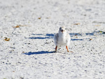 Black Skimmer Chick Stock Photography
