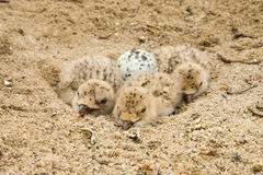 Black Skimmer Chicks Stock Images