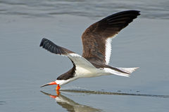 Black Skimmer Royalty Free Stock Image