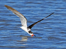 Black Skimmer Stock Photo