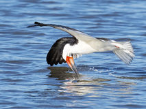 Black Skimmer Royalty Free Stock Images