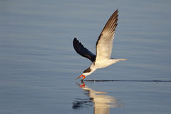 Black Skimmer feeding in the Gulf of Mexico, Florida Royalty Free Stock Image