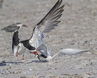 Black Skimmer Feeding Juvenile Royalty Free Stock Photos