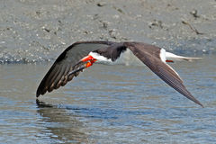 Black Skimmer Royalty Free Stock Photography