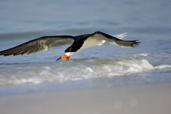 Black Skimmer fishing the surf line. For a meal Stock Images