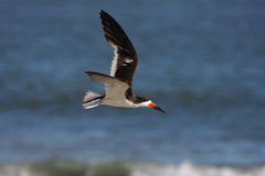 Black Skimmer In Flight Royalty Free Stock Photos