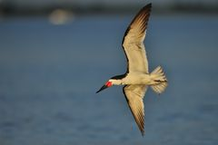 Black Skimmer in flight Royalty Free Stock Photo