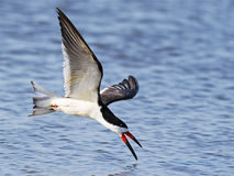 Black Skimmer in Flight. Against a blue Water Stock Photography
