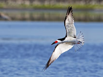 Black Skimmer in Flight. Against a blue Water Stock Image