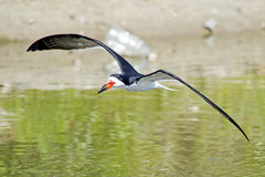 Black Skimmer in Flight Royalty Free Stock Image