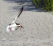 Black Skimmer in Flight with Fish Stock Photography