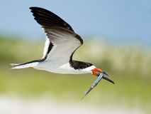 Black Skimmer in Flight with Fish Royalty Free Stock Photo