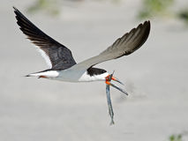 Black Skimmer in Flight with Fish Stock Image