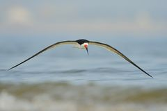 Black Skimmer in flight over the water Royalty Free Stock Photos