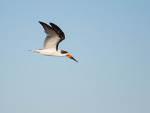 Black Skimmer In Flight Stock Image