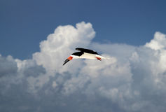 Black Skimmer in Flight Royalty Free Stock Images