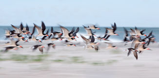 Black Skimmer flock flying over sandy beach. Stock Photos