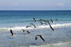 Black Skimmer Flock Royalty Free Stock Image