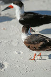 Black Skimmer at Lido Beach Royalty Free Stock Images