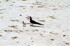 Black skimmer mother bird with young chick Stock Photos