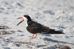 Black Skimmer Mouth Open
