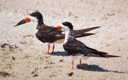 Black Skimmer pair Royalty Free Stock Photos