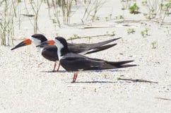 Black Skimmer. A pair of wild black skimmer birds, Rynchops niger,  on the beach in summer Royalty Free Stock Image