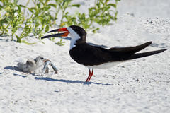 Black Skimmer Parent and Chick with Fish. Black Skimmer parent handing off a Northern Pipefish to it& x27;s chick Royalty Free Stock Image