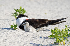 Black Skimmer Parent and Chick in Nest Royalty Free Stock Photo