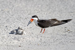 Black Skimmer Parent and Chicks Royalty Free Stock Images