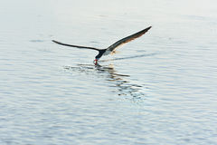 Black Skimmer Royalty Free Stock Image