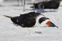 Black Skimmer resting on a Florida beach Stock Photography