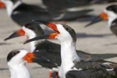 Black skimmer, rynchops niger Stock Photos